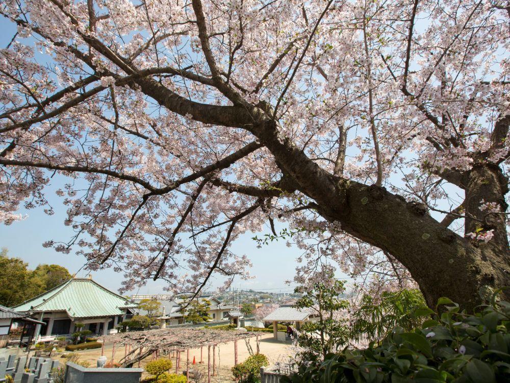 遍照寺 魚住庭苑 春の桜