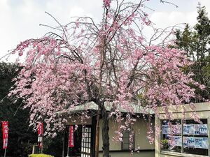 妙成寺の山門前にある枝垂れ桜
