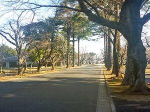 桜木霊園前の並木道