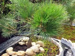樹木葬「緑波」の松の木